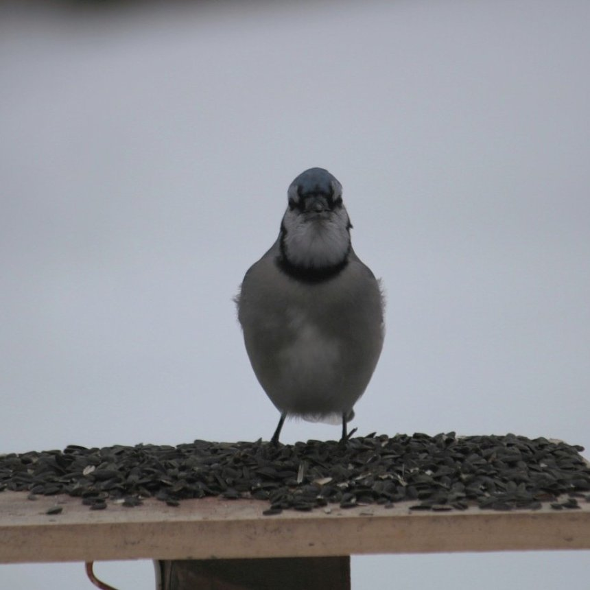 Blue jay on platform feeder of sunflower seeds looking at camera