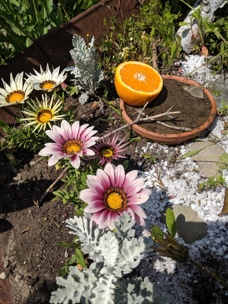 A rusted wheelbarrow holds a tiny garden of six daisy-like flowers (three pink and white and three yellow and white), and silver fern like plants with a stone pathway leading to a terra cotta dish filled with sand, sticks and stone and half an orange for the butterflies. My symbol of Spring has Sprung!