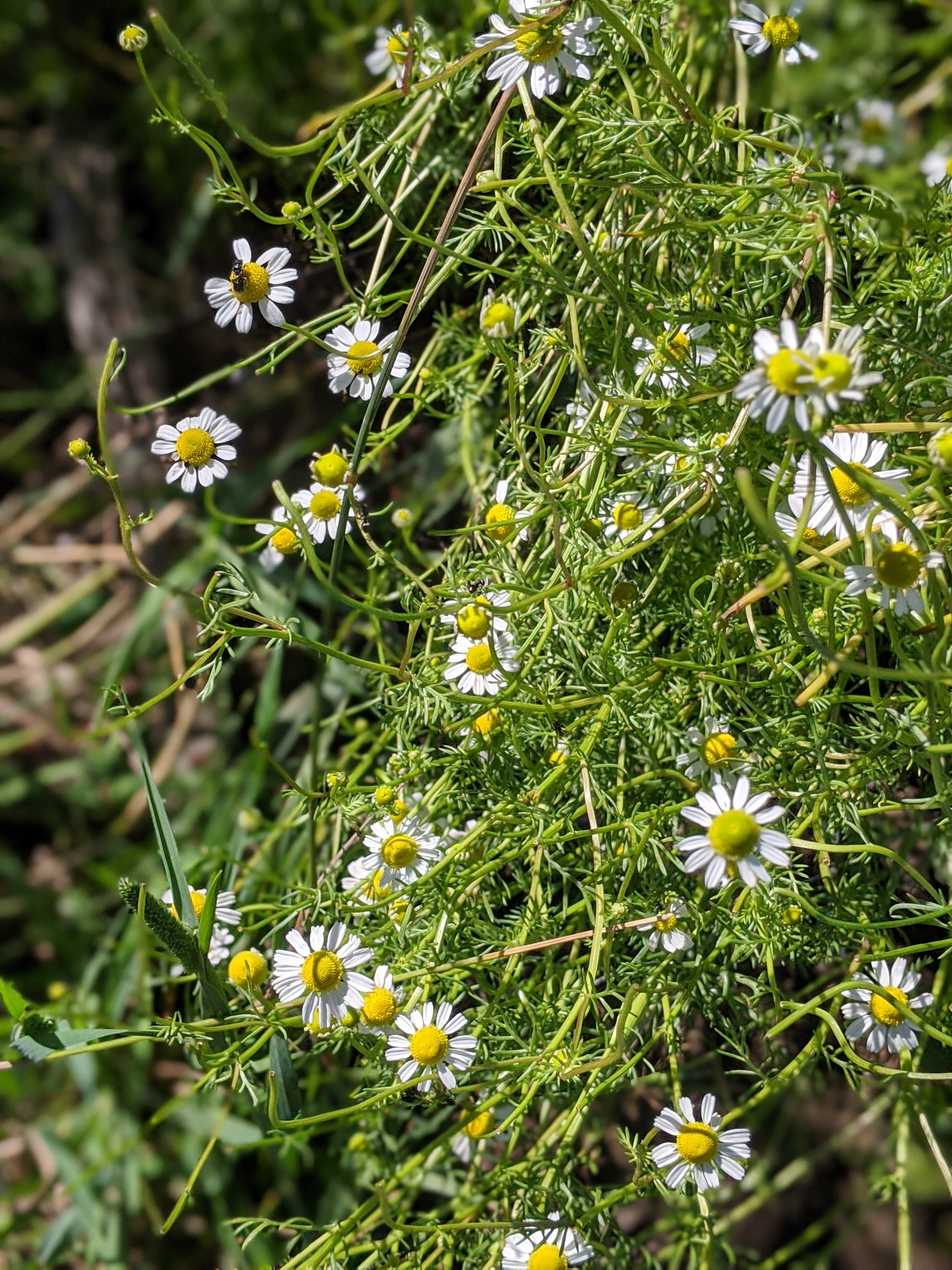 daisy-like blooms of the chamomile plant