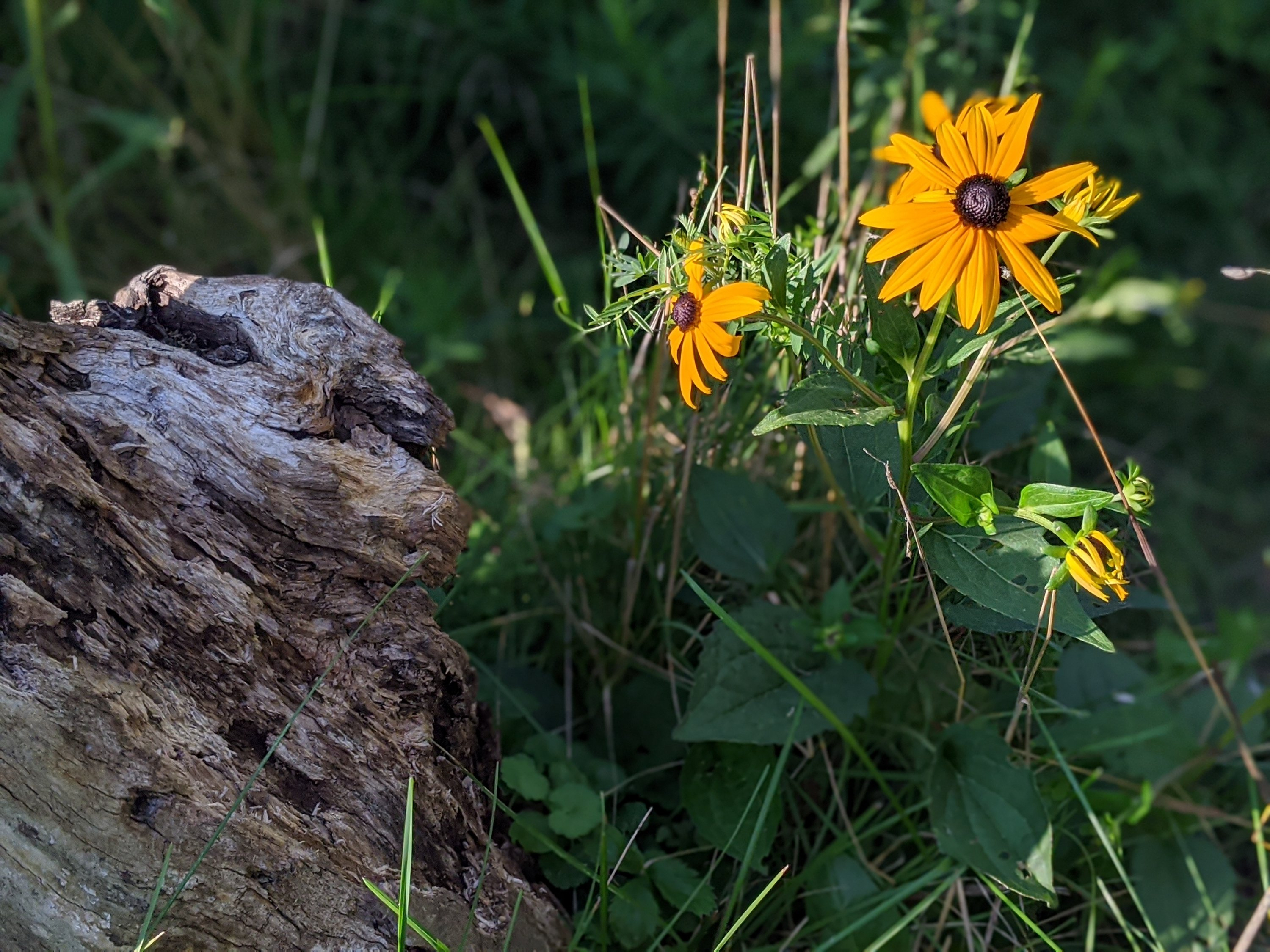 black-eyed susans bloom next to drift wood