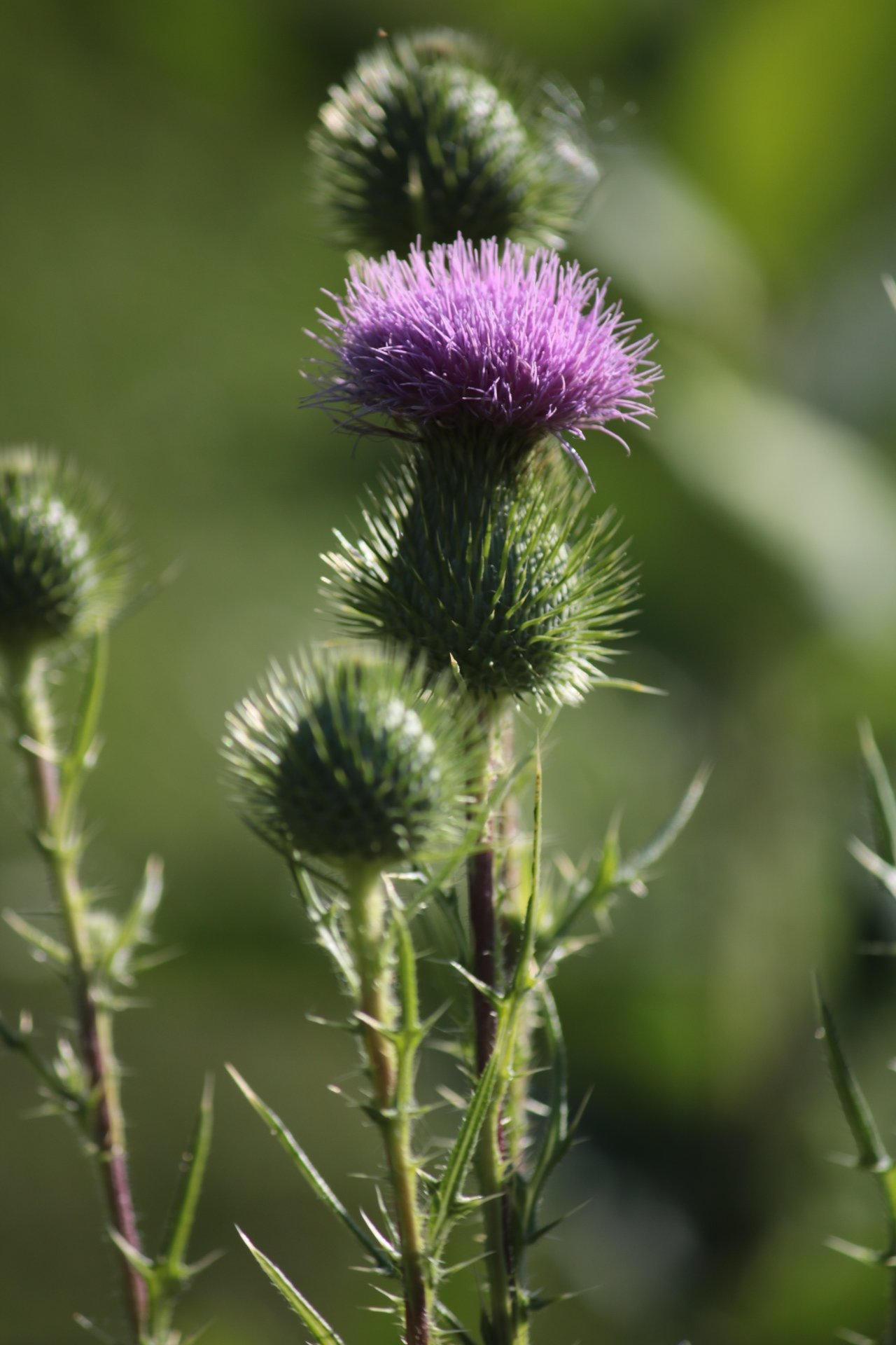 pink fuzzy top of a blooming thistle