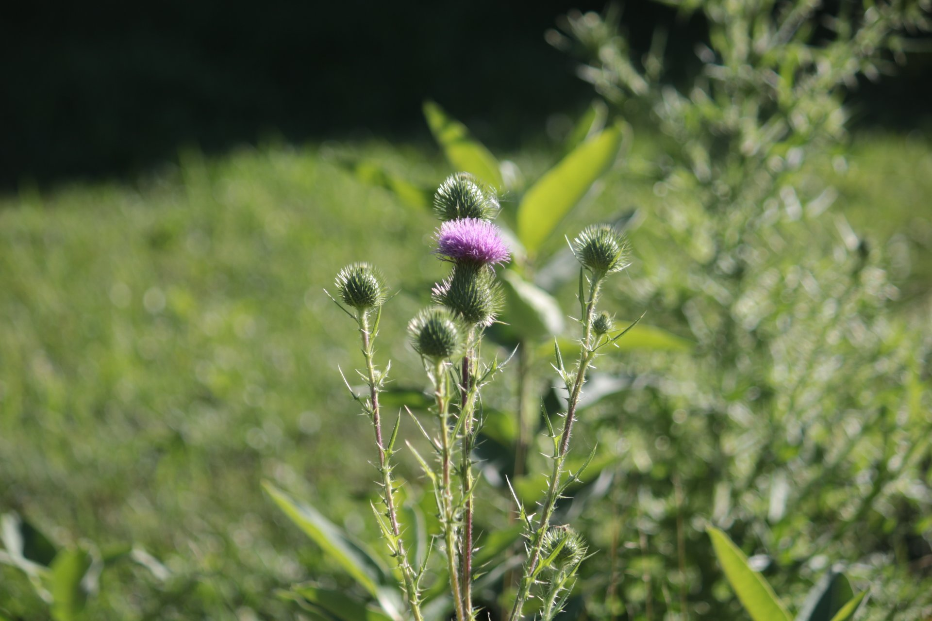 thistle plant with one head blooming