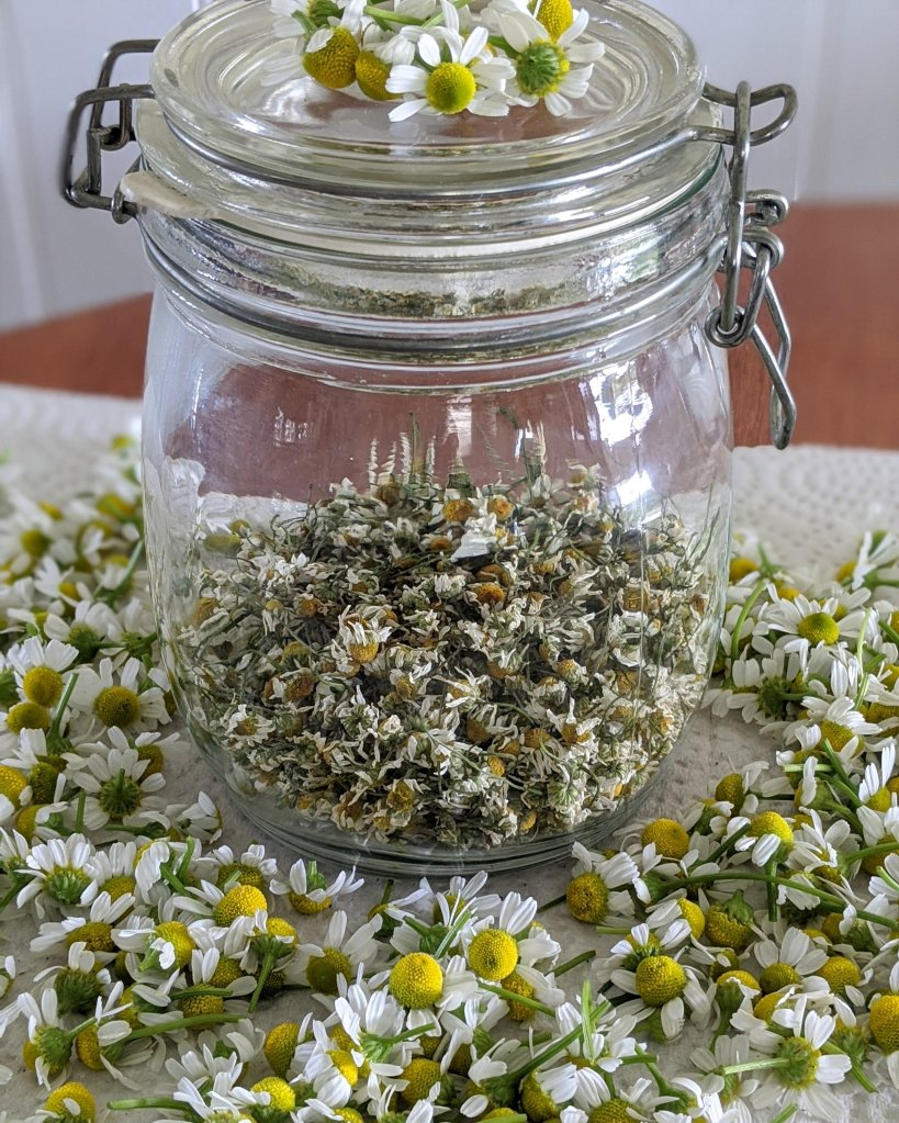 Dried chamomile in a jar with freshly picked chamomile surrounding it.