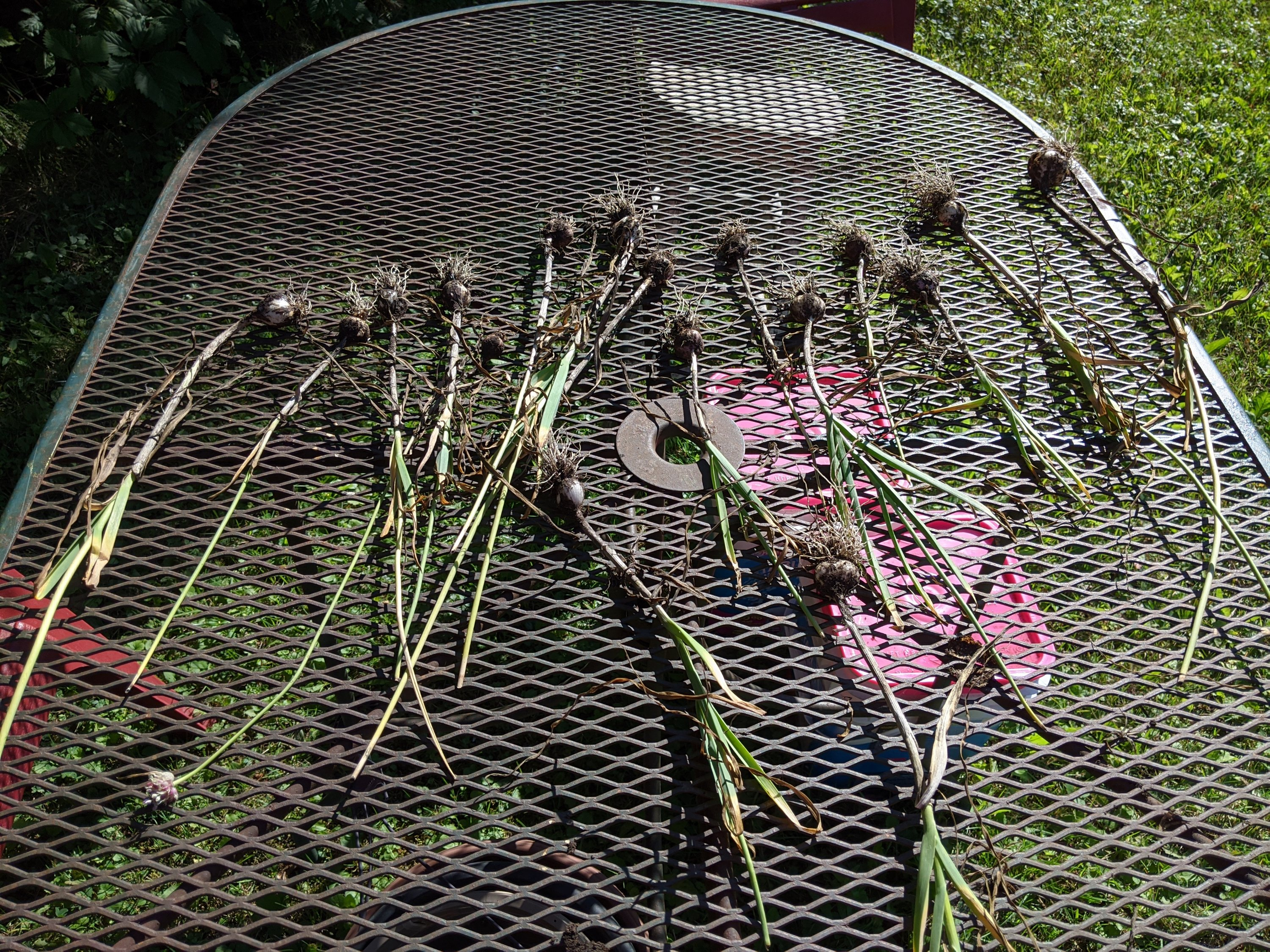 17 stalks of garlic lie on a metal patio table to dry