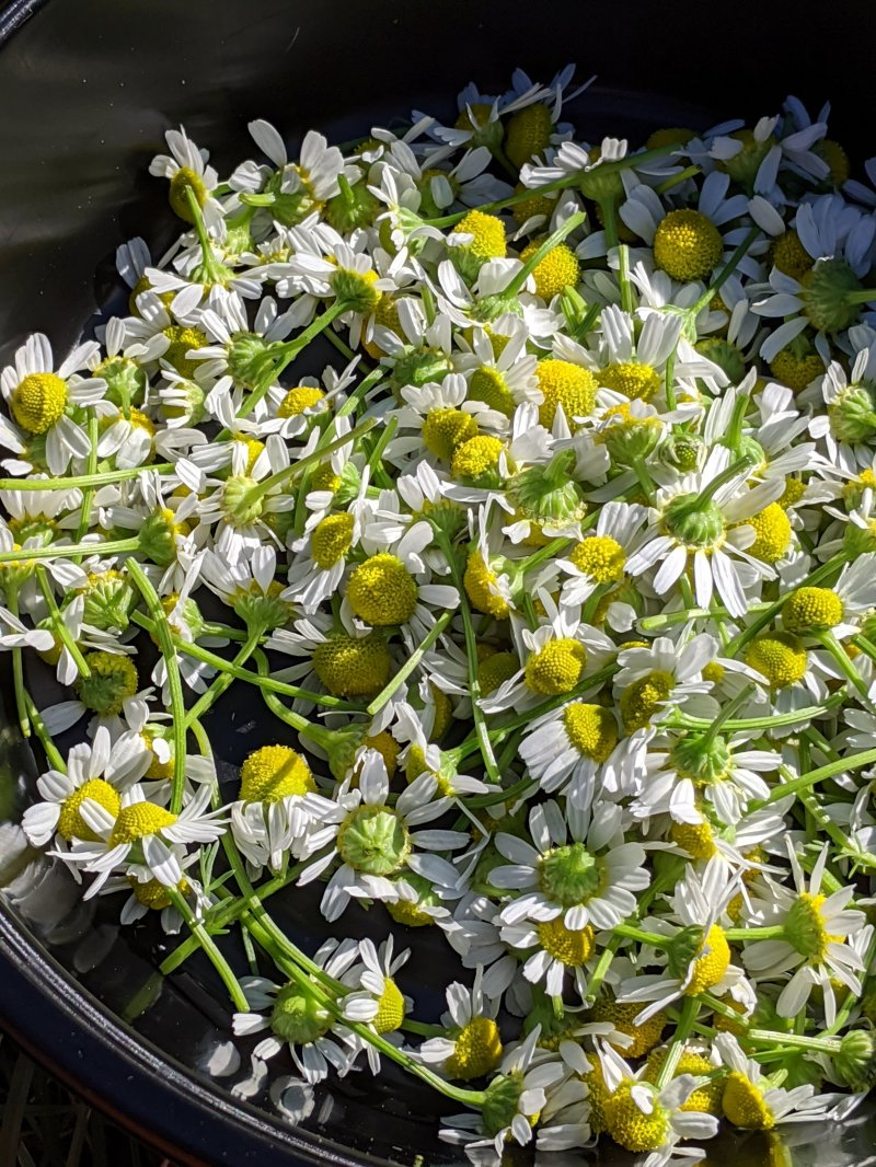 a bowl-full of chamomile blooms