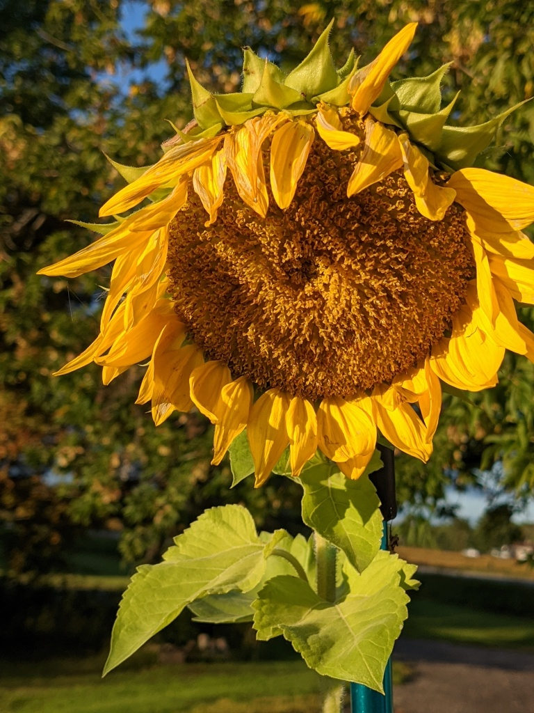 the morning sun highlights a sunflower