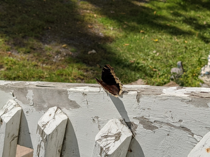 Mourning cloak butterfly rests on a railing in the morning sun