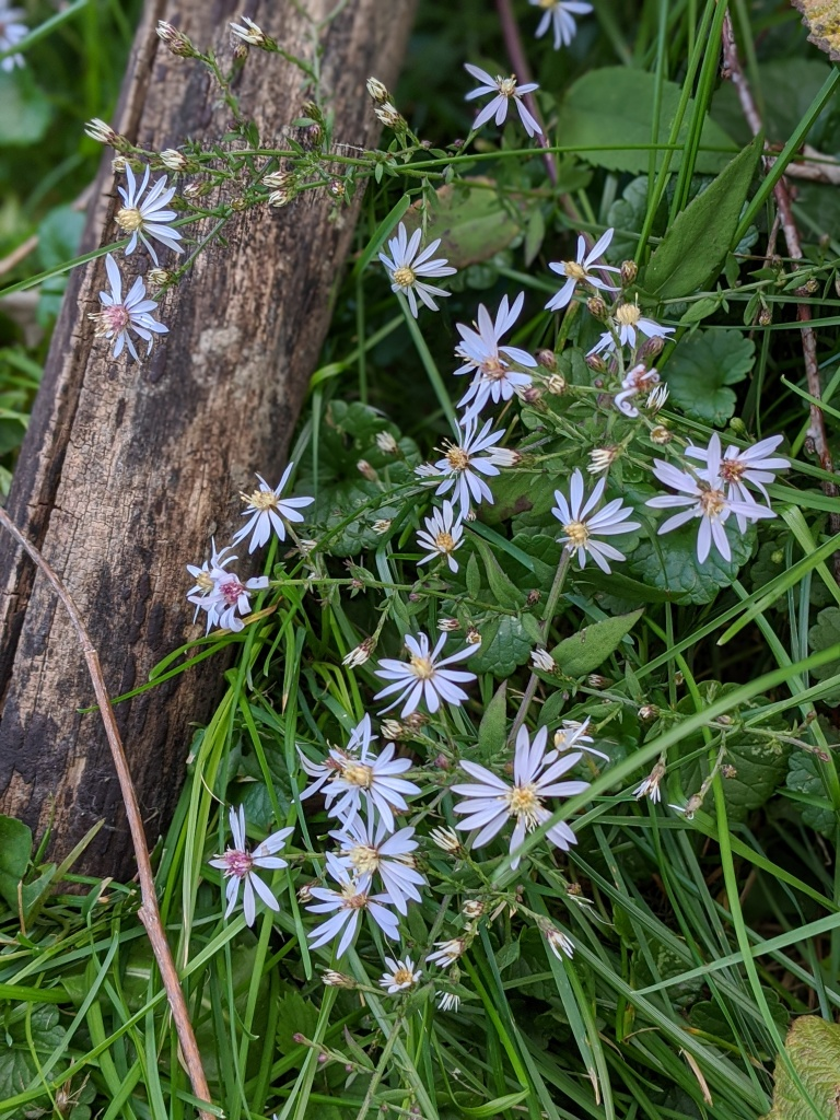 Wild flower - Symphyotrichum, commonly known as Aster