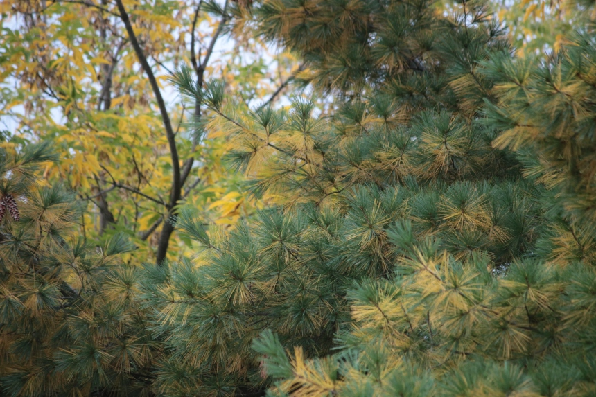pine needles turning yellow