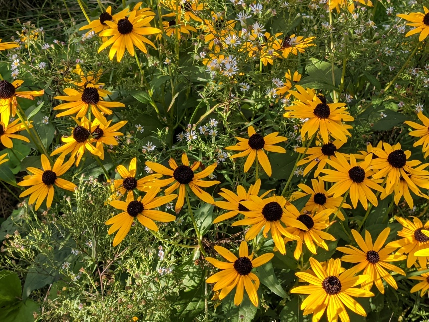 black eyed susans and white aster