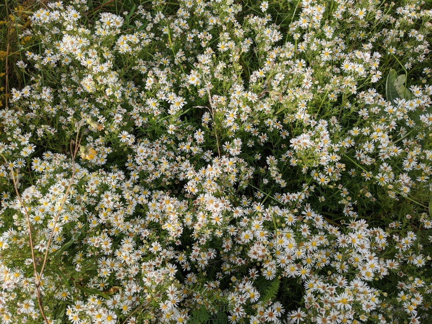 bunch of white aster