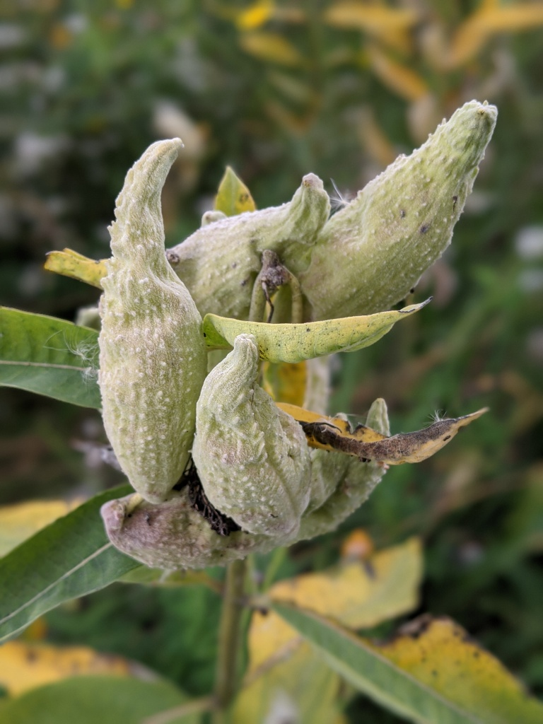 milk weed seed pods