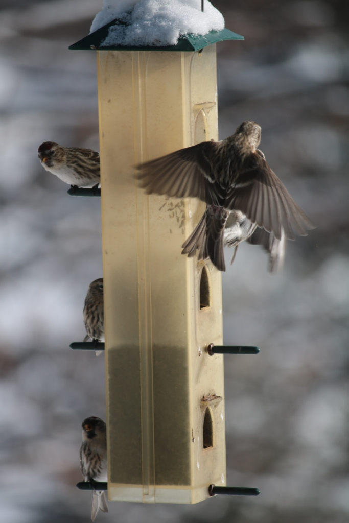 5 redpoll birds perched on a silo feeder while another redpoll flys in to join them.