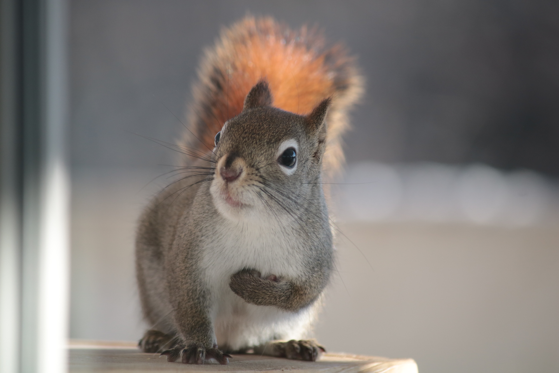 Red squirrel facing the camera with left paw lifted to its chest