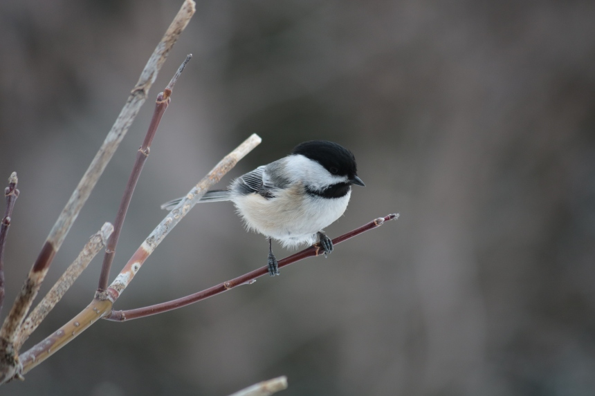 black capped chickadee perches on a branch copyright Wanda Quinn 2021