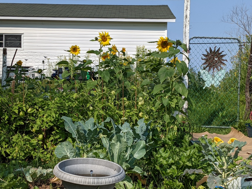 six sunflowers, within a fenced-in garden, tower over a row of green tomato plants, broccoli and cauliflower plants with a bumbling water feature in the front of the image