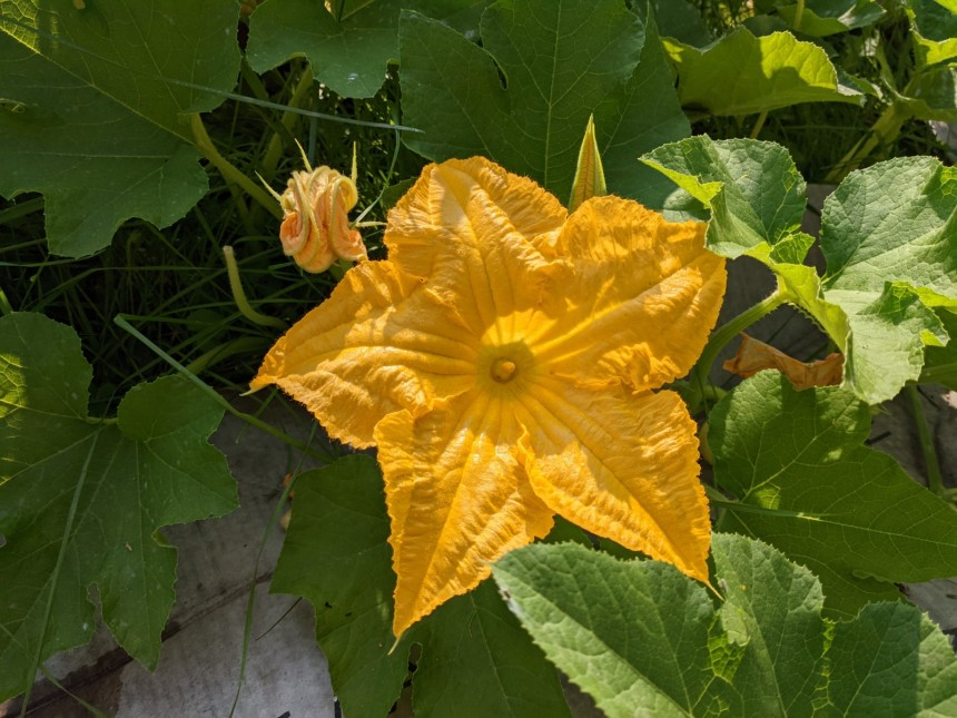 A male pumpkin flower is centered in this photo. The flower is star shaped with five large petals. The flower is about 6-8 inches in diameter. Large green leaves surround the flower. A single stem, known as a stamen, rises from the centre of the flower.